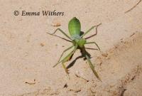Beach Mantis