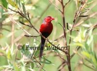 Male Crimson Finch