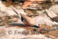 Drinking Long-tailed Finch