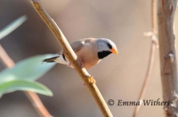 Peering Long-tailed Finch
