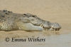 Dentists Delight - Saltwater Crocodile