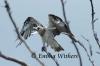 Balancing Osprey