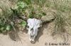 Banteng Skull