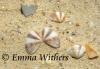Bivalve Shells