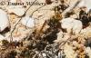 Beach Dragonfly - Female Wandering Pennant
