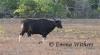 Banteng Bull on Plain