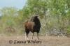Coastal Plain Banteng Bull
