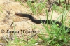 Black-whip Snake