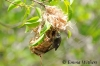 Bar-breasted Honeyeater Building Nest