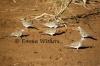 Bar-shouldered Doves Morning Meeting