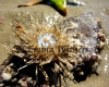 Beached Sea Urchin