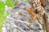 Armour Plated Grasshopper