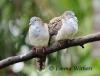 Chilly Bar-shouldered Doves