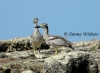 Beach Stone Curlews