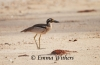Beach Stone Curlew