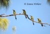 Bee-eaters All In A Row