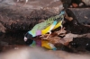 Colourful Reflections - Black-headed Gouldian Finch