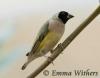 Muted Black-headed Gouldian Finch
