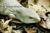 Blue-tongue Lizard