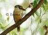 Backyard Blue-winged Kookaburra