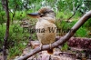Buley Blue-winged Kookaburra