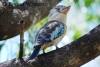 Blue-winged Kookaburra Lakes Resort