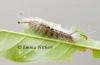 Bristle Caterpillar