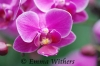 Cerise Orchid