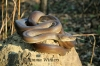Coiled Olive Python