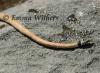 Collared Whip Snake