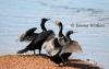 Cormorants Drying Wings