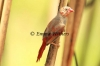 Moulting Crimson Finch