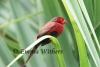 Pandanus Crimson Finch