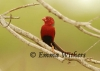 Perching Crimson Finch