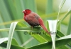 Puffed Up Crimson Finch