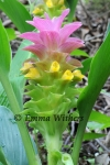 Curcuma Framed with Leaves