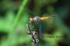 Female Palemouth Dragonfly