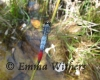 Bicoloured Skimmer Dragonfly
