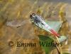Creek Bicoloured Skimmer