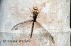 Dragonfly Shadow