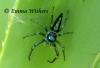 Electric Blue Jumping Spider