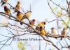 Flock of Gouldian Finches