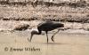 Dabbling Glossy Ibis