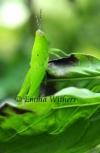 Emerald Grasshopper