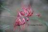 3D Grevillea Flowers