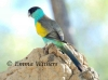 Hooded Parrot on Termite Mound