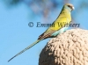 Hooded Parrot coming into Adult Plumage