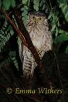 Juvenile Boobok Owl