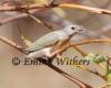 Juvenille Gouldian Finch