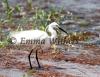 Breeding Plumage - Little Egret